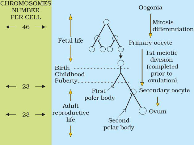 events of Oogenesis