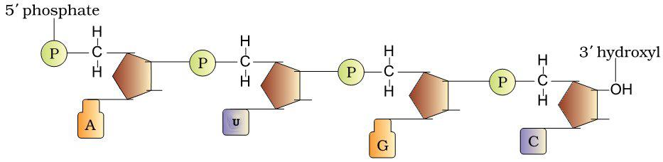 structure of a RNA polynuclotide chain