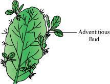 Leaf buds of Bryophyllum