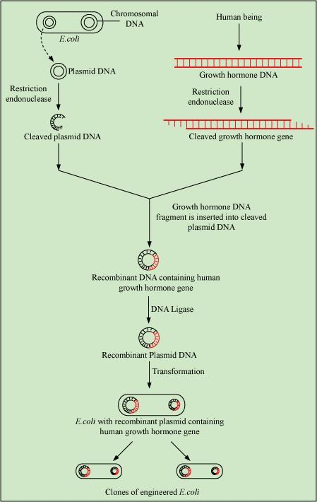 Cloning And Transfer Of Gene For Growth Hormone Into E.Coli