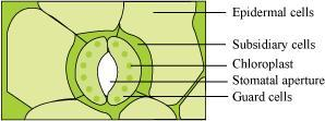 structure of stomata with a labelled diagram